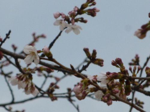 県庁舎と咲き始めの桜