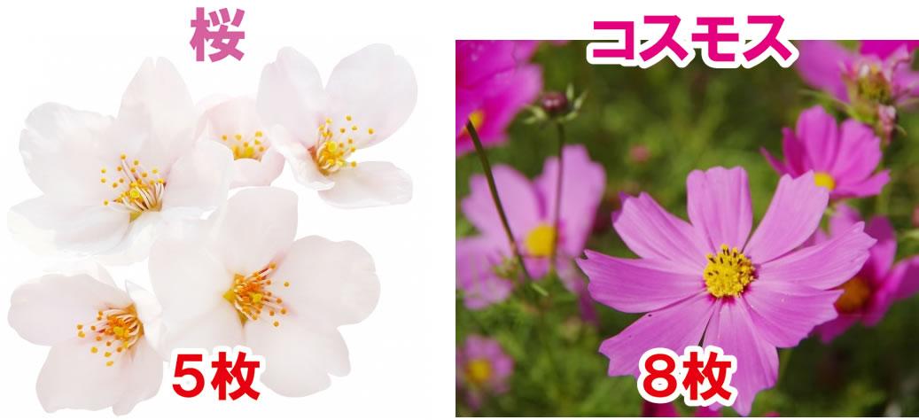 桜・コスモスとフィボナッチ数列